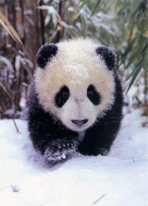 első lépések a pandákért (is)