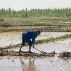 ár a rizsföldeken