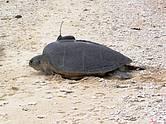 jeladóval felszerelt teknős