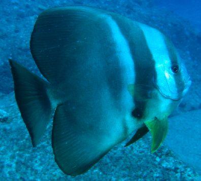 a barátságos denevérhal