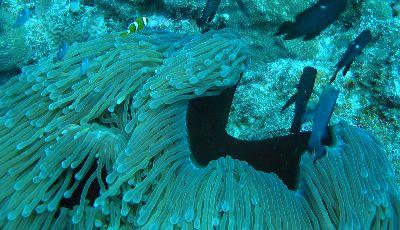 bohóchal, anemone