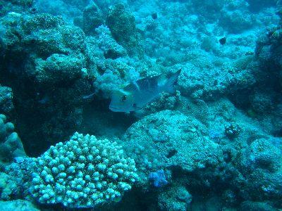 nagyszemű császárhal