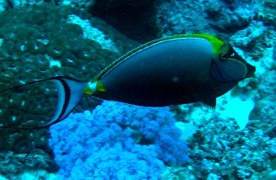 Orangespine surgeonfish