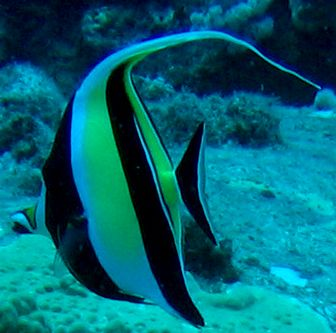 szarvashal
