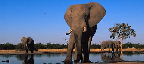 afrikai elefánt (fotó: Martin Harvey)