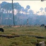 esőerdő helyén tehenek legelnek
